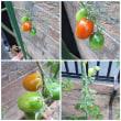 ようやくミニトマトが赤くなり始めました