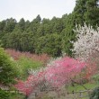 篠窪(しのくぼ)の隣町 松田町の最明寺史跡公園はまだ桜が残っていました。(2018/04/20)