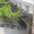 河合橋の松