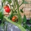 色づいたトマト♥