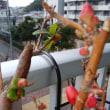 <ボケの花>春の兆し♪