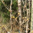春の兆し フキノトウ、ミツバ。景観計画市民ワークショップ。