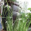 ウオーターマッシュルームとシラサギカヤツリ草