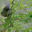 続・アクロバットで採餌:リュウキュウズアカアオバト