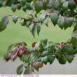 コマユミ 〈小真弓〉 の赤い実