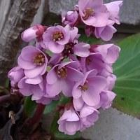 季節の花「ヒマラヤ雪の下」