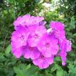 季節の花「花魁草 (おいらんそう)」