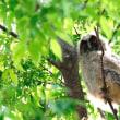 トラフズクの幼鳥