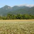 蕎麦の花が咲いている