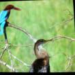 野鳥図鑑とアジアヘビウ