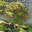 ベニサラサドウダンの赤い花が木を埋め尽くしました