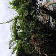 ブーゲンビリアで覆われた庭、蔦も又❗️藪と格闘の夏休み❗️