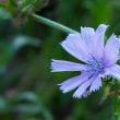 菊のような薄青色のチコリがまだ咲いていました 大泉緑地