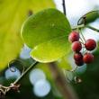 体育の授業は見に来ないで・・サルトリイバラの紅葉と果実