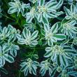 来年の春に種をまいて育てたい(^-^) 初雪草