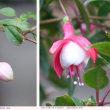 フクシア   実家の花