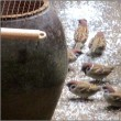 かわいい雀達