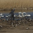 ガバ沼・多々良沼の白鳥他2018