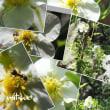「銀露梅の花が咲きました」 MY GARDEN 2018.07.17撮影