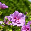 ピンクのムクゲの花
