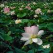 さくら市下河戸の蓮の花 2018