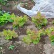 8月中旬播種のサンチュの収穫開始