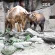 多摩動物公園のゴールデンターキン ムツ君は生まれて、208日目。2017.8.8