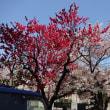 下北沢川緑道の春 2018