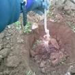 りんごの苗木を植えます。