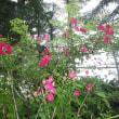 紅蔓薔薇が咲いた