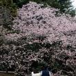 新宿御苑の寒桜・・4