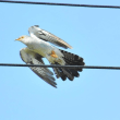 カッコウ 托卵性で小鳥と同じ場所にいます。