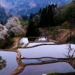 儀明の桜シリ-ズ Ⅱ