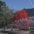 岩国、吉香公園の紅葉 2017.11