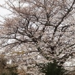 今日も桜を求めて
