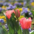 弥生二十日、鬱金香―seedling