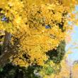 水城公園の銀杏