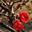 2月20日(火曜日)「木瓜の花」(チーシさん)