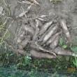 サツマイモを試し掘りしました