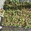 順調な発芽と、仮植の効果