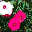 ふようの花