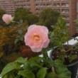 西のベランダの花たち。