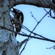 アカゲラ Great Spotted Woodpecker