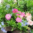 oneboke みちこ今日の庭 薔薇の花がらつみ と 飾り寿司試作