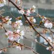 緋寒桜かな??