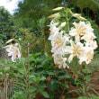 季節の花(山ゆり)