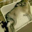 うさぎのいる暮らし:うさぎを飼ってみたら、実にかわいらしかった件