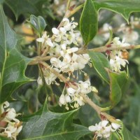 <ヒイラギ(柊・疼木)> 雌雄異株、芳香を放つ白い小花