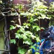 庭のプランターにあるボイセンベリー