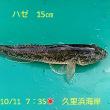 笑転爺の釣行記 10月11日☀ 久里浜・浦賀